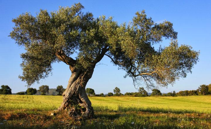 árbol de olivo aspecto
