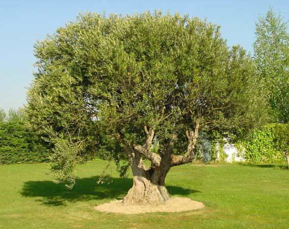 árbol de olivo