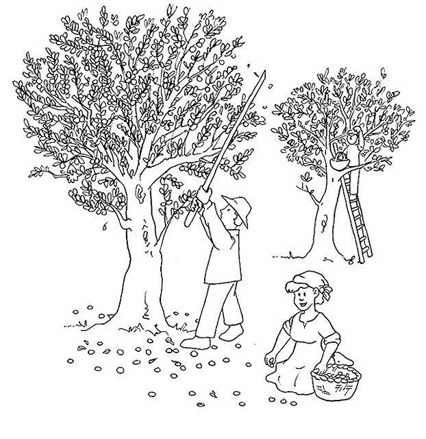 dibujo olivos recolección personas