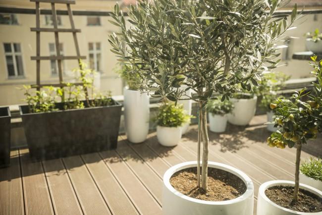 cuidados del olivo en maceta