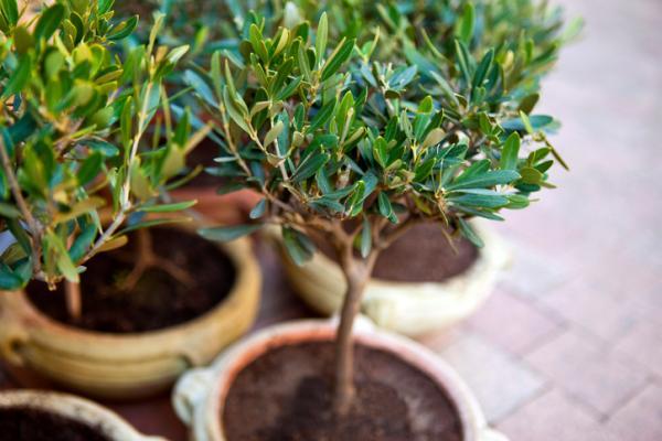 plantación de olivo en maceta