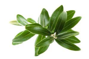 apariencia de la hoja de olivo