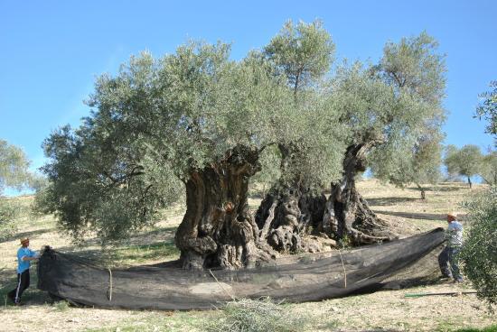 árbol de olivo milenario