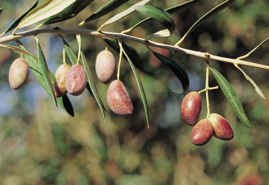 picual variedad del olivo