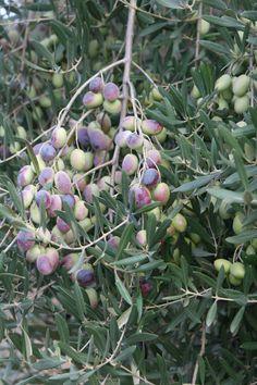 hojas del olivo picual