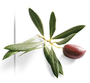 aceituna de olivo picual