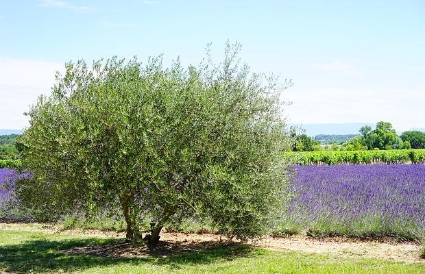 apariencia del olivo silvestre
