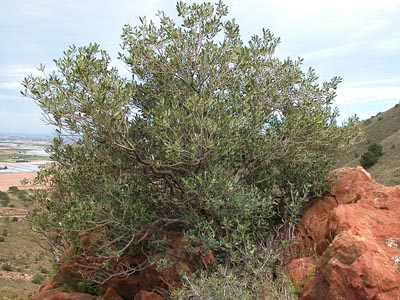acebuche el olivo silvestre
