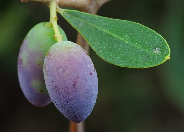 fruto acebuche