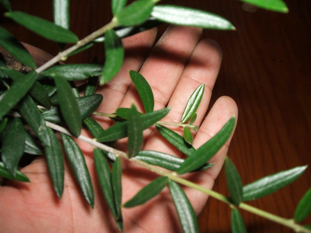hojas del acebuche