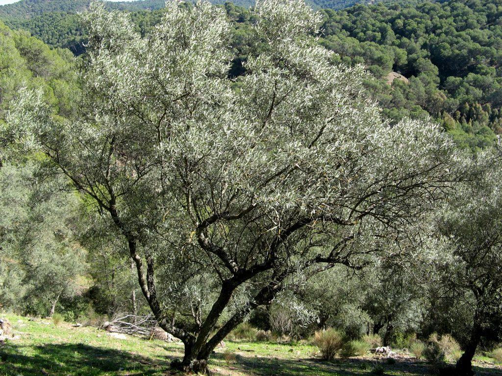 significado bíblico del olivo silvestre