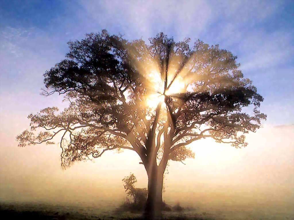 acebuche árbol de la fe