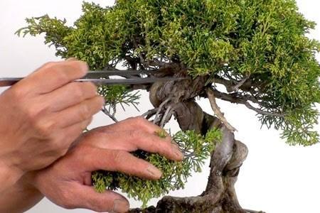 poda correcta en bonsái de olivo