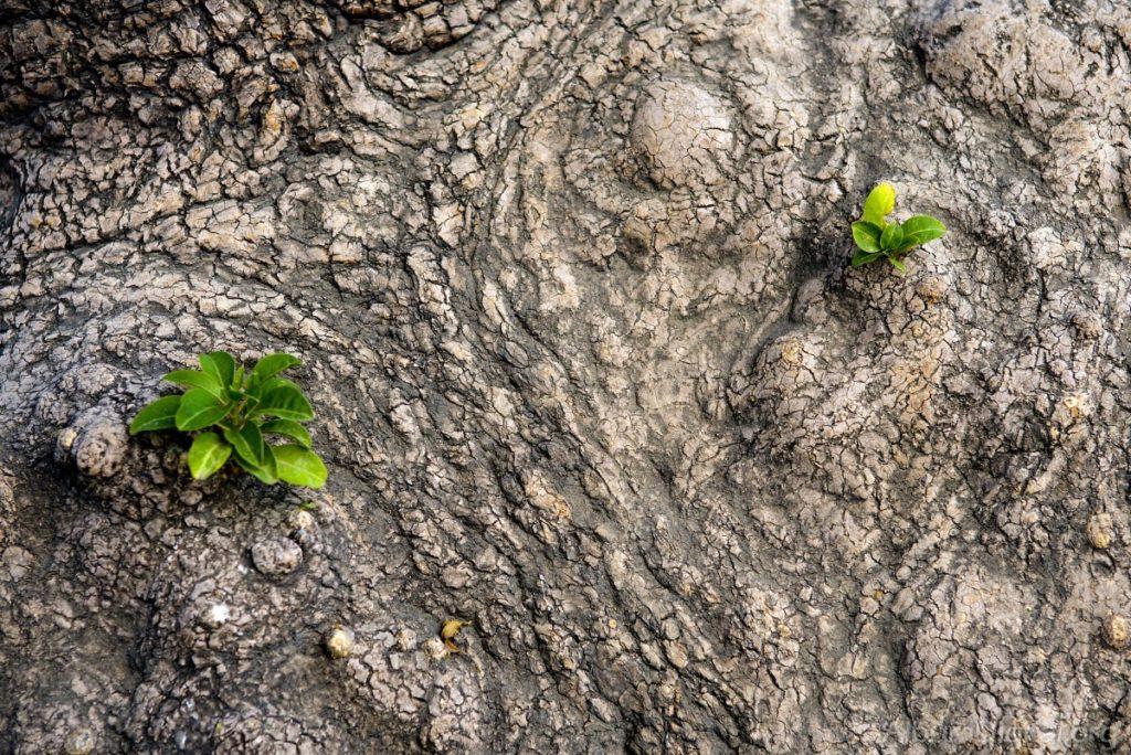 brotes en árbol de olivo poda