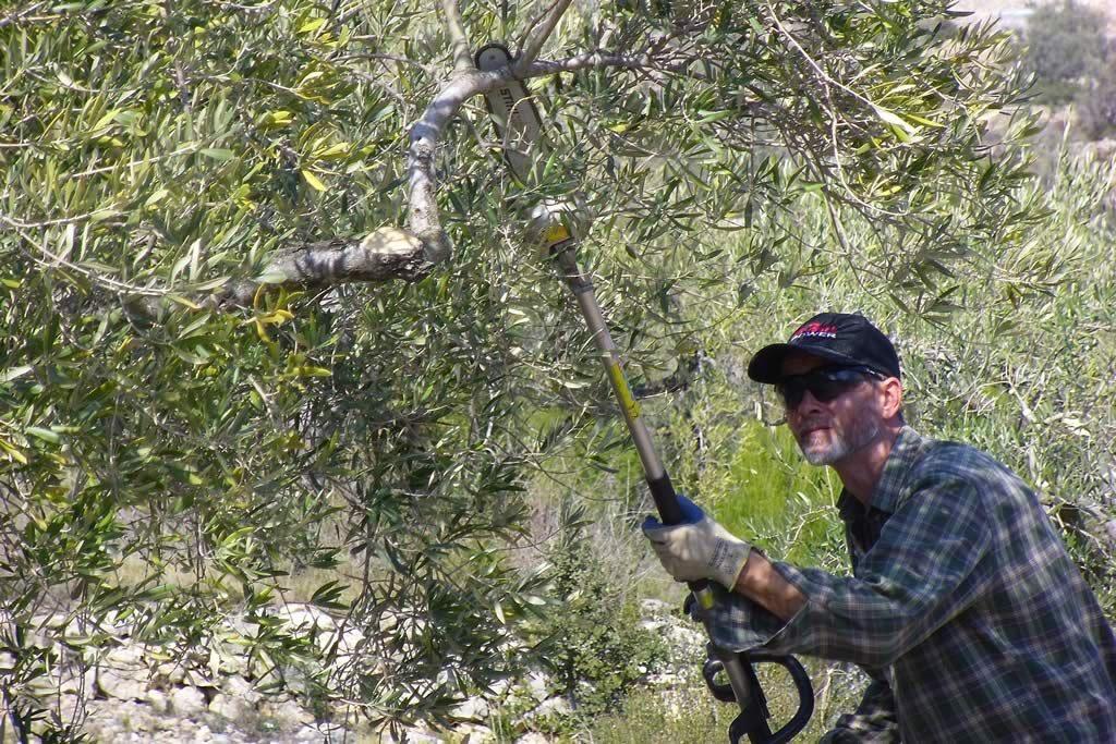 poda del olivo cortar ramas secas