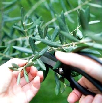 poda de producción para el olivo
