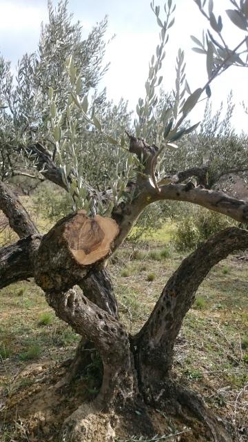 poda de rejuvenecimiento en el olivo