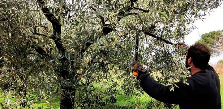 podado del árbol de olivo