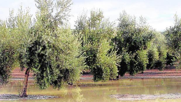 evitar charcos de agua en los olivos