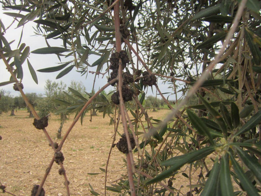 infección de tuberculosis en olivo