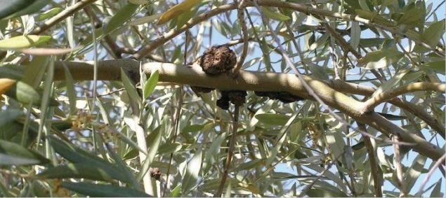 pseudomonas savastanoi bacteria del tuberculosis del olivo