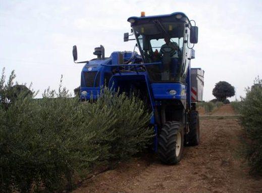 recolección mecanizada puede generar tuberculosis del olivo