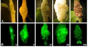 secuencia tuberculosis del olivo bacteria