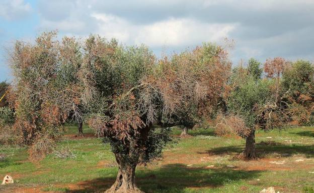 xylella fastidiosa árbol de olivo
