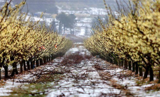 xylella fastidiosa del olivo en plantaciones de almendros en alicante