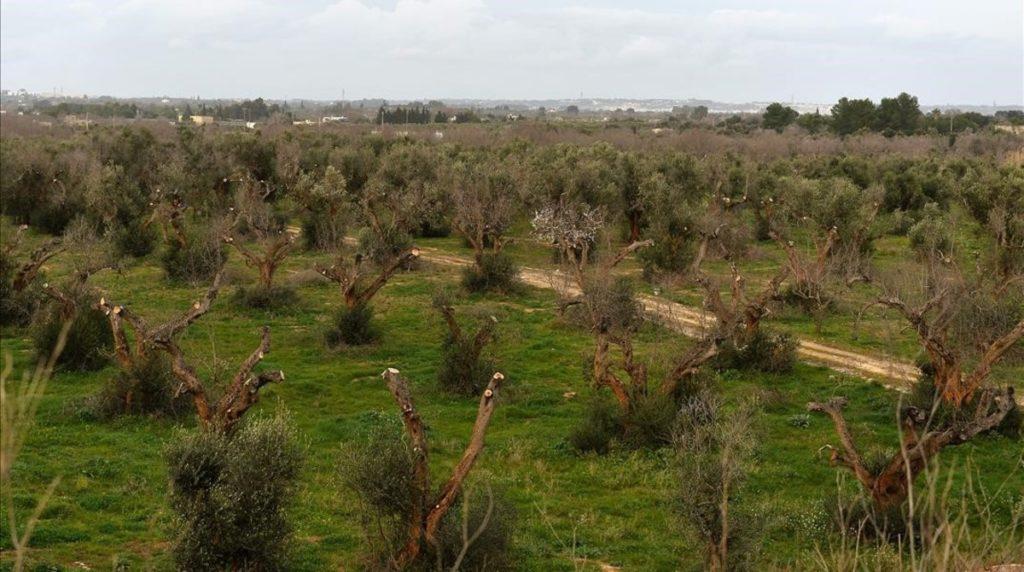 ataque de xylella fastidiosa en olivos de italia